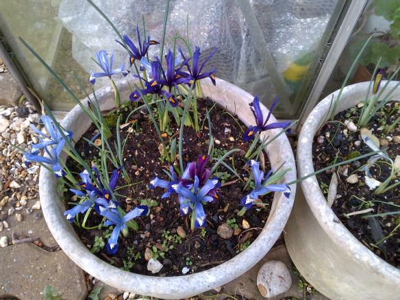 Iris reticulata hybrids