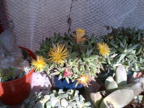 Forgotten what Genus this!  It is Bergeranthus or similar.